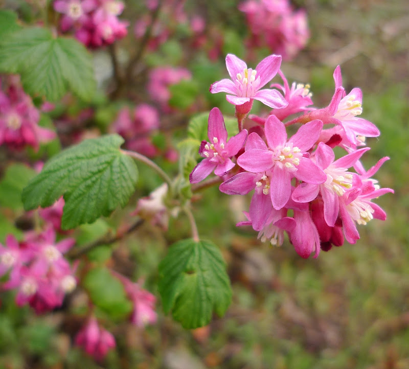 Early spring flowers of Red Flowering Currant title=