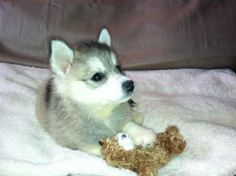 Mini Husky Puppy