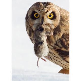 owl-mouse_1793880i.jpg