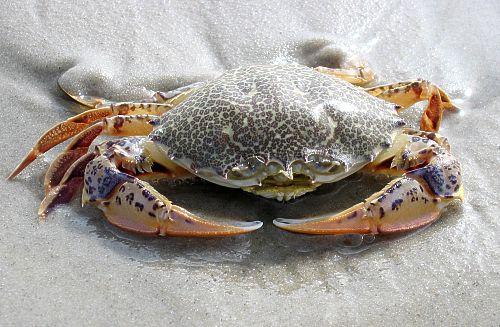 Catch Crabs Myrtle Beach