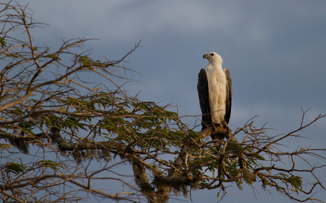 A photograph of a White Bellied Sea Eagle