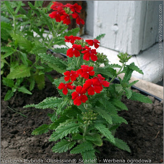 Verbena hybrida 'Obsession Scarlet' - Werbena ogrodowa 'Obsession Scarlet'