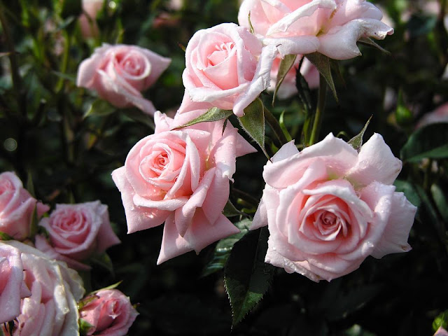 marathi gulab rose prem kavita