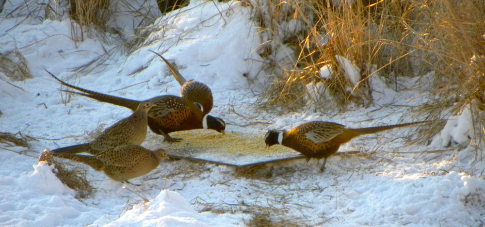 Colorado Ultimate Pheasant Hunting Forum.html | Autos Weblog