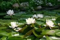 Белая водяная лилия, Одолень-трава