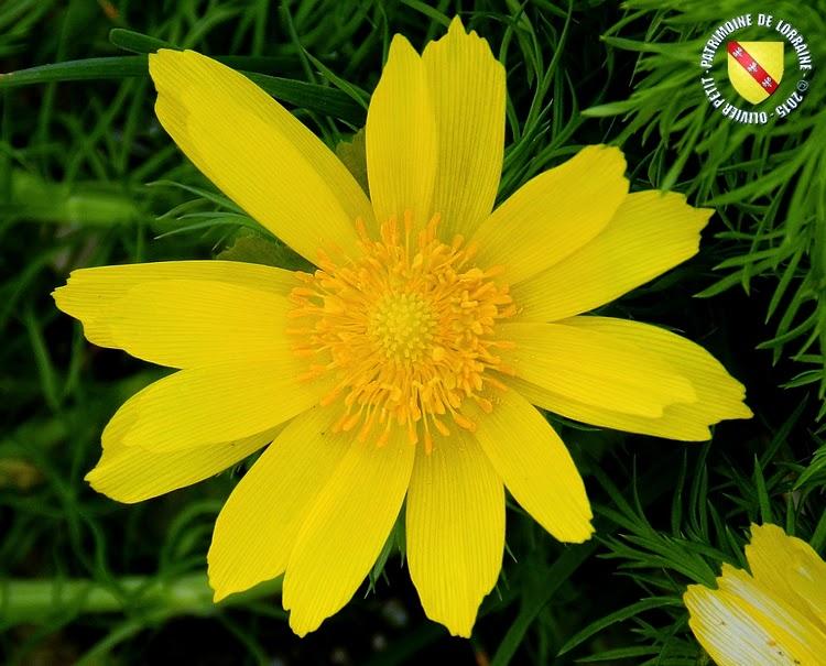 VILLERS-LES-NANCY (54) : Le jardin botanique du Montet-Adonis printanière