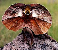 reptile frilled lizard