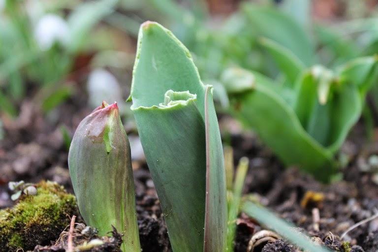 Tulipani mangiati