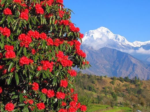 Wild Rhododendron Himalayas Nepal Rhododendron Lali Gurans
