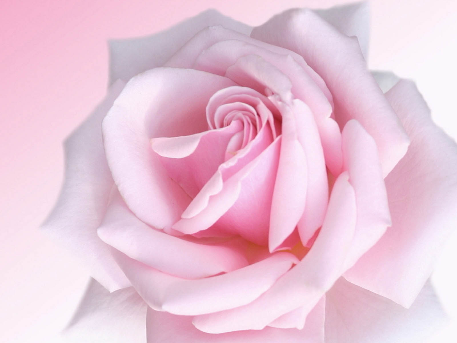 wallpapers: Pink Rose Wallpapers - 98.6KB