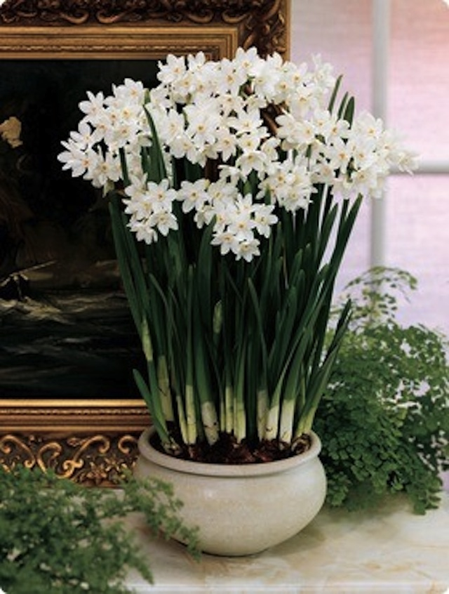 Sanity Fair A Passion For Paperwhites