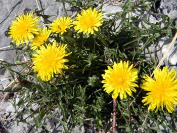Taraxacum officinale (Dente di Leone, Soffione)