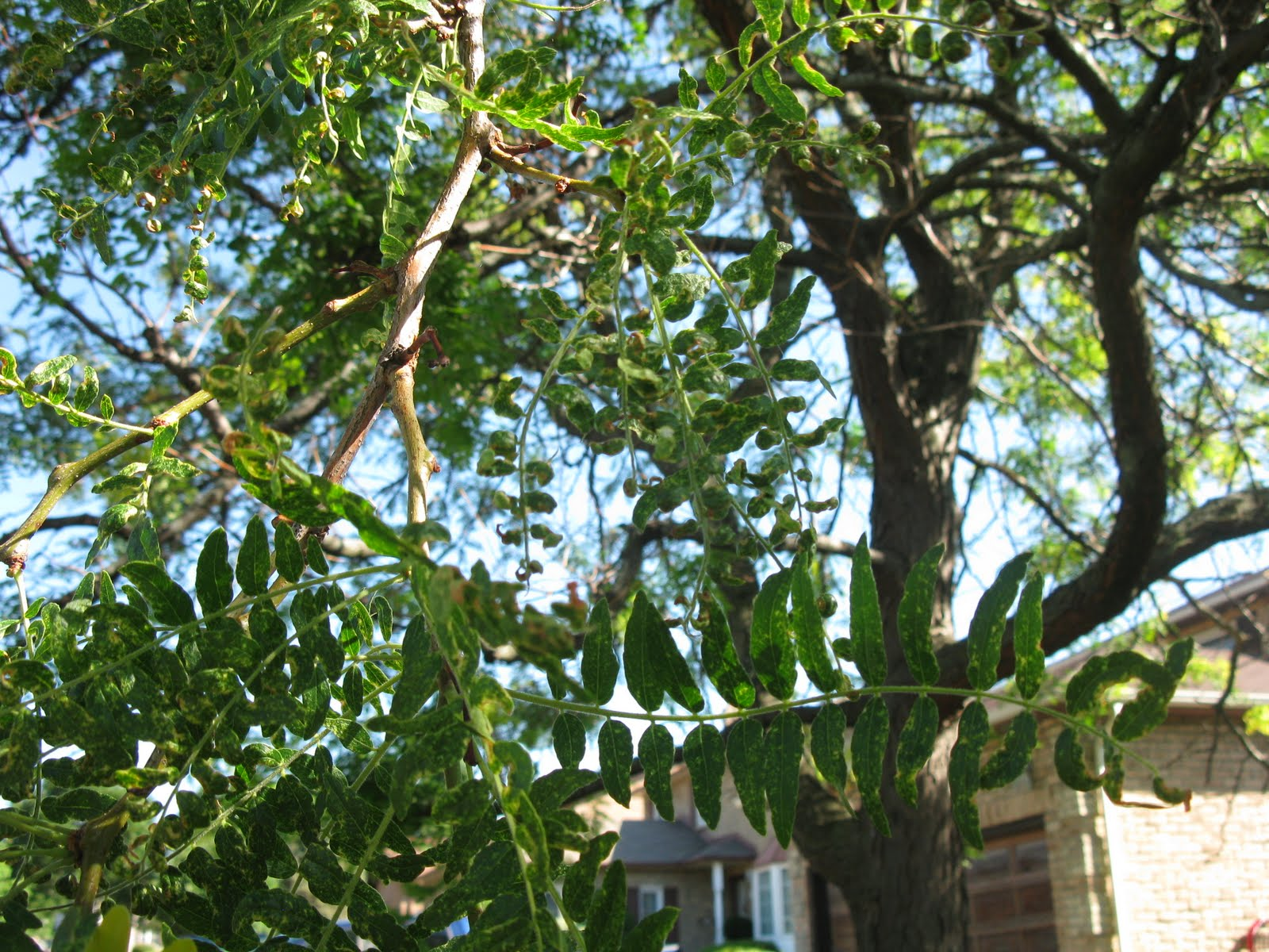 White Swan Homes and Gardens Honey Locust Plant Bugs and Leaf Hoppers