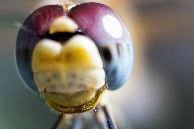 fotos en detalle de una libélula en fotosmacro.blogspot.com