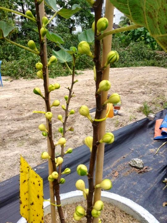 Figs : COLL DE DAMA RIMADA