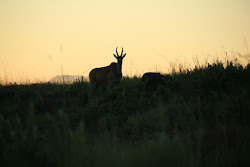 Eland at Sunrise - Lotheni
