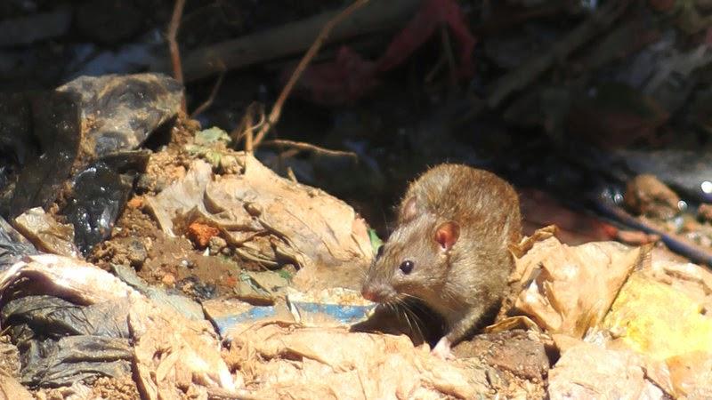 Os ratos e o lixo são uma visão comum ao longo das ruas de Antananarivo
