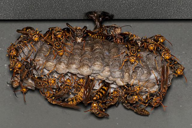アシナガバチの画像 p1_14