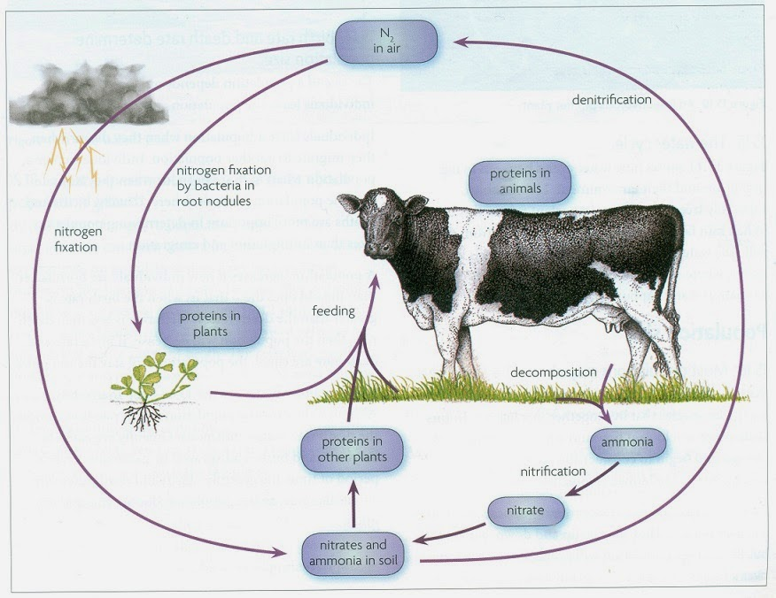 144 Nitrogen Cycle Biology Notes For Igcse 2014