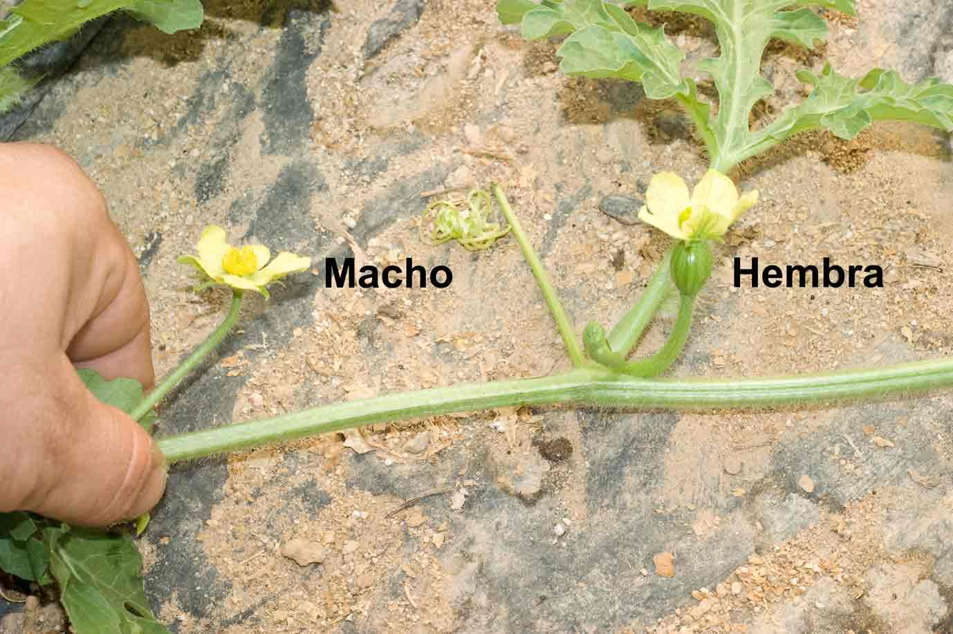 Арбуз мужские цветки фото