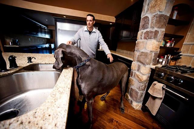 Giant George, el perro más grande del mundo