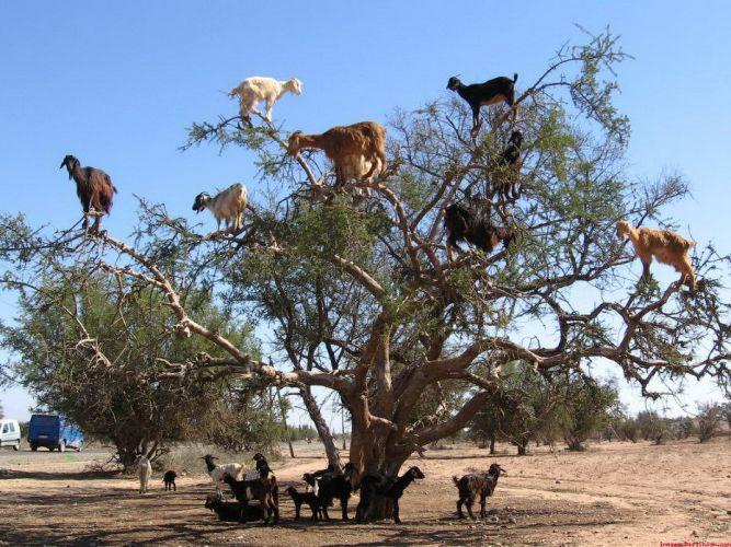 Чудеса творения: Горные козы