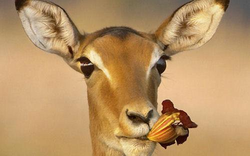 Ciervo sediento - Thirsty deer - Cerfs soif