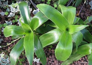 Цветок традесканция: виды комнатного растения, фото и видео 40
