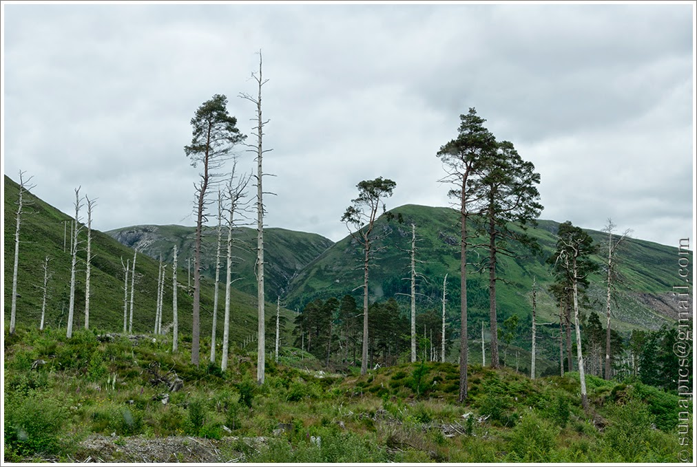 Sunday afternoon strathcarron to gairloch 47 miles diary of a not sure what has been happening to these scots pines bleached white bare trunks killed by disease or by deer stripping the bark lower down sad to see malvernweather Choice Image
