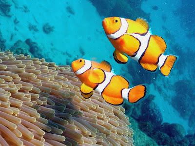 ... ノ^_^)ノ: Clownfish / Ikan Badut / Ikan Nemo Wall