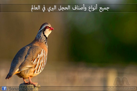 طائر الحجل