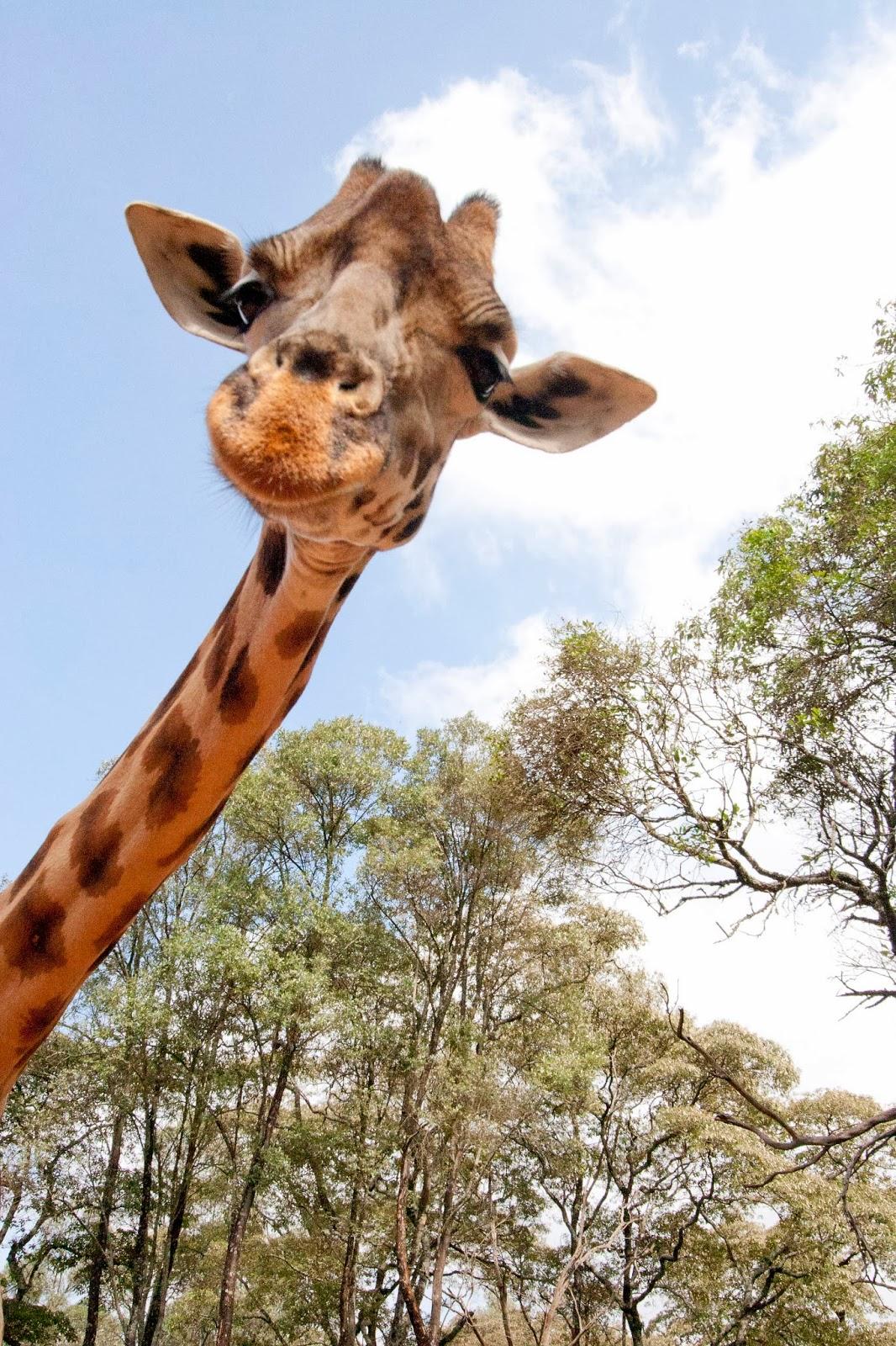 Tag: giraffe Lustige Bilder, Videos und Witze Lachschon  - lustige bilder von giraffen
