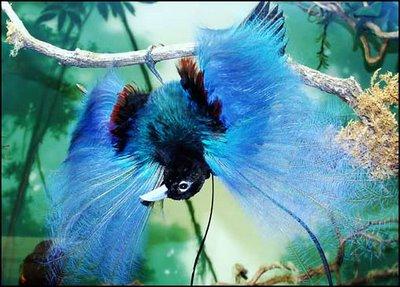 Birds Blue Bird of Paradise