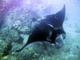 Julie 39 s portfolio what are cartilaginous fish for Cartilaginous fish examples