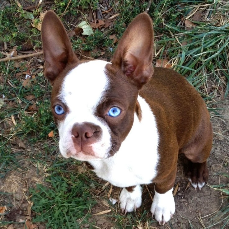Red Boston Terrier Puppies With Blue Eyes