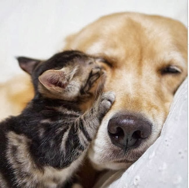 Golden retriever taking care of abandoned kitten (8 pics), dog adopts kitten, dog loves kitten