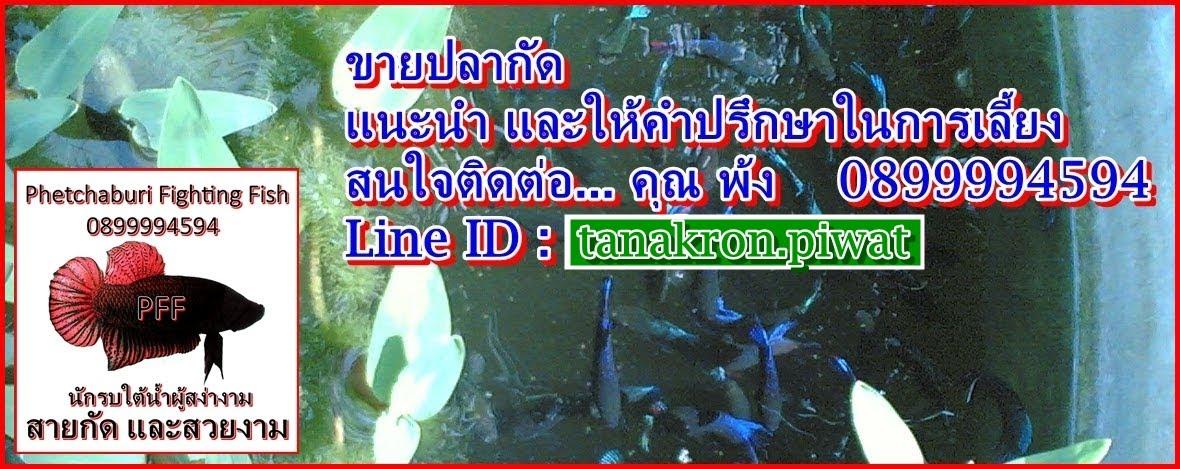 Phetchaburi Fighting Fish