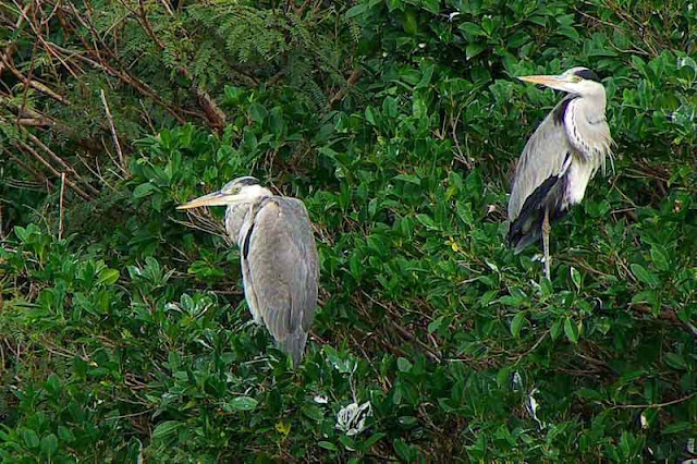 pair of Grey Herons