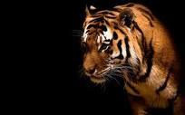 lion , king