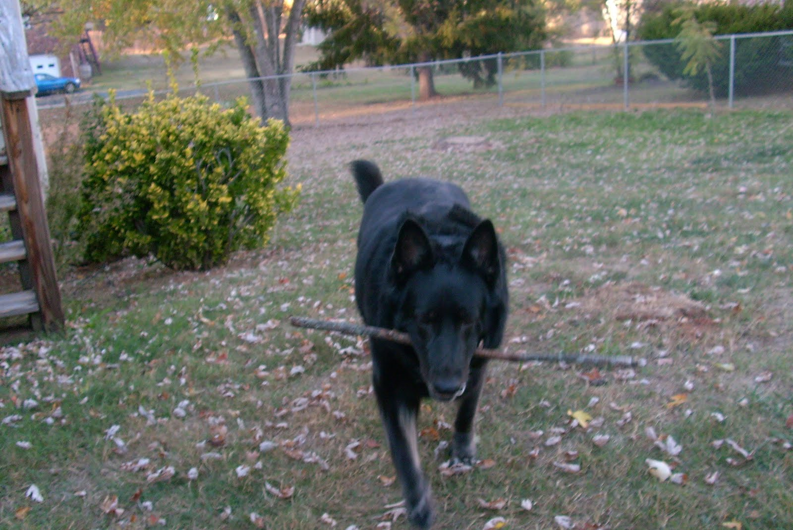 Ruby with her favorite stick