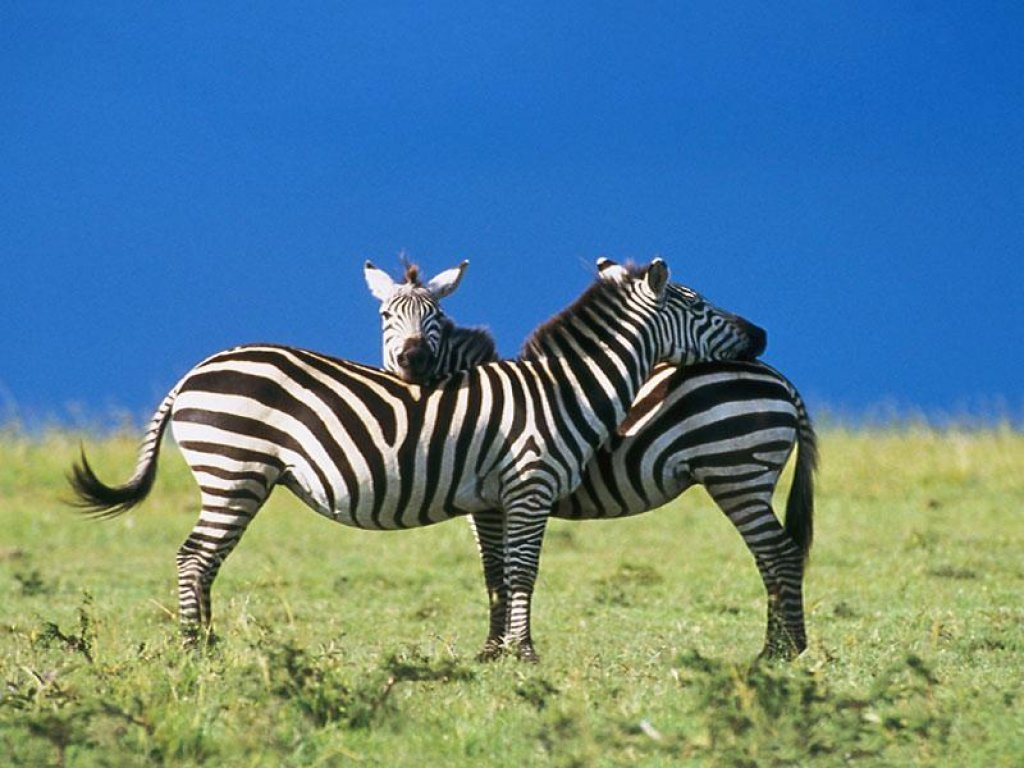 Animal zoo life zebra pics zebras zebra pictures of for Zebra wallpaper
