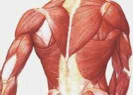 Cientistas revertem envelhecimento muscular em cobaias