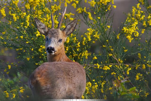 Reebok met gebroken gewei tussen de bloeiende Brem - Roe Deer with broken antler between blooming Broom - Capreolus capreolus