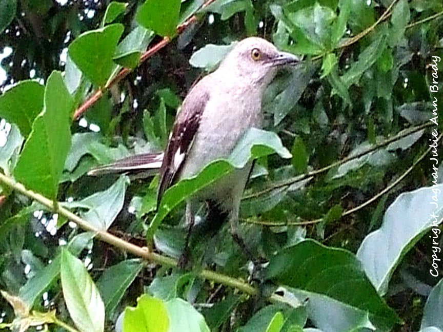 Adult Mockingbird Guarding the Nest