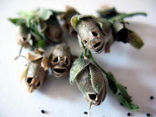 Παράξενοι σπόροι που μοιάζουν με κρανία!