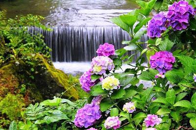 Cascadas en el río y flores hortensias