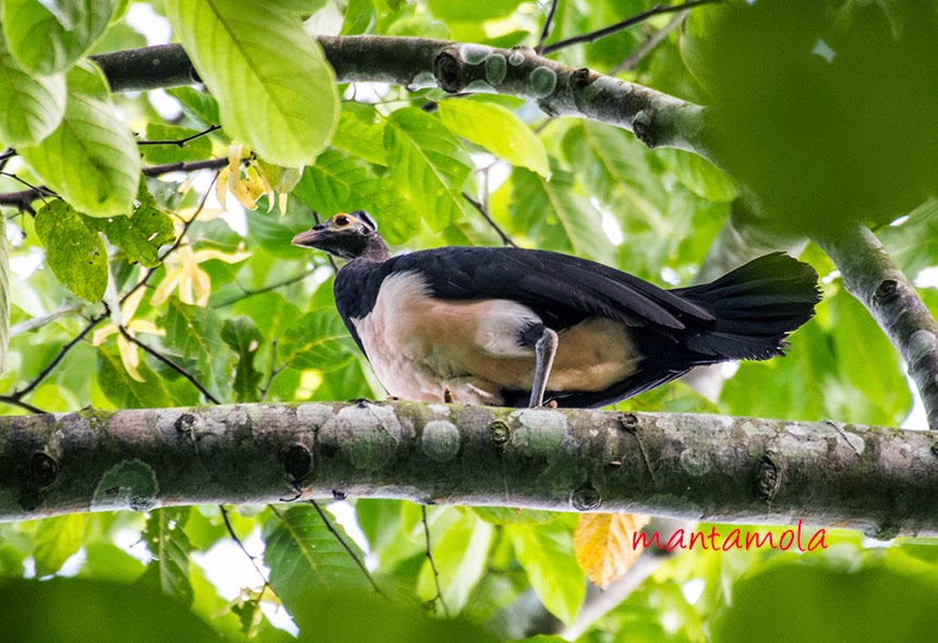 The maleo (Macrocephalon maleo)