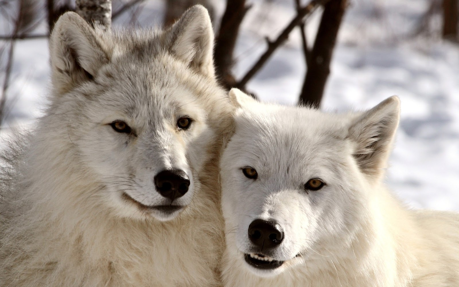 Must see   Wallpaper Horse Wolf - Amazing+Wolf+Wallpapers+18  Pic_804316.jpg