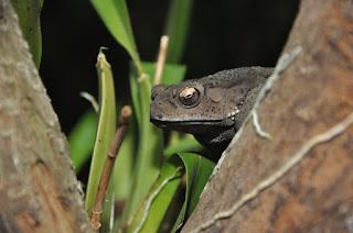 gambar katak