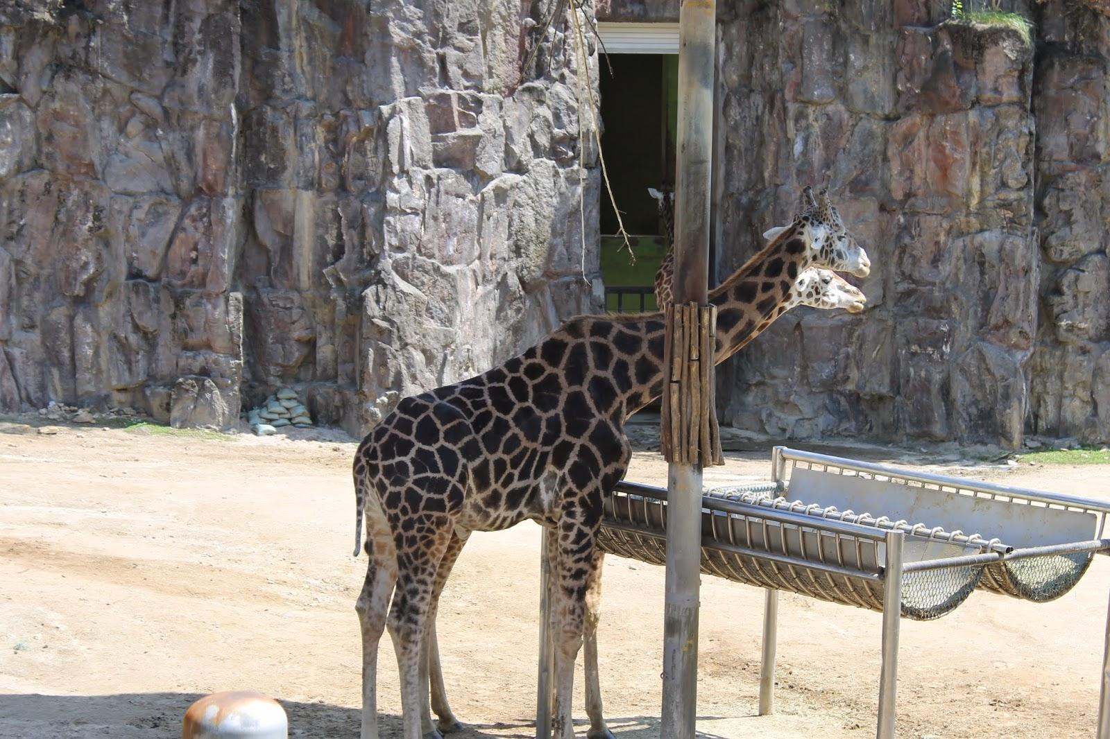 Seoul Zoo, Seoul, зоопарк в сеуле, сеул, корея, зоопарк, жираф